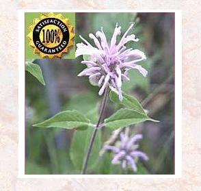 Mint</b> (Mentha Citrata )<br /> Pure Natural Therapeutic Essential Oil