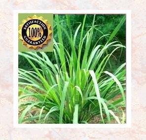 Lemon Grass (Cymbopogon Citratus) Pure Natural Essential Oil