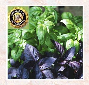 Basil (Ocimum Basilicum)<br /> Pure Natural Therapeutic Essential Oil