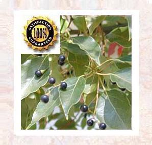 Ravintsara aka:Camphor (Cinnamomum Camphora) <br />Certified Pure & Natural Essential Oil