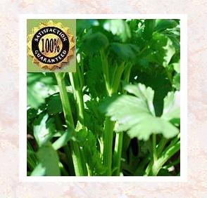 Celery Seed Oil (Apium Graveolens L.)<<br />Certified Pure & Natural Essential Oil
