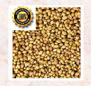 Coriander (Coriandrum sativum) Pure Natural Therapeutic Essential Oil