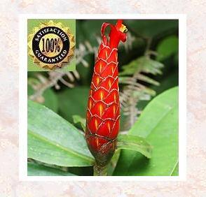Costus Root (Sassuriea Costus) Therapeutic Essential Oil