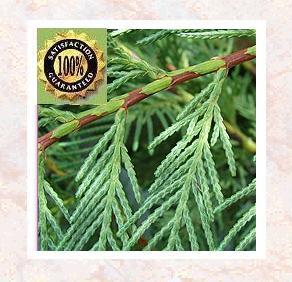 Cypress (Cupressus Sempervirens) Therapeutic Essential Oil