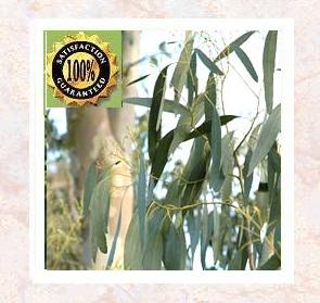 Eucalyptus (Eucalyptus Globules) Pure Natural Therapeutic Essential Oil