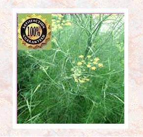 Fennel (Foeniculum vulgare) Pure Natural Spice Essential Oil