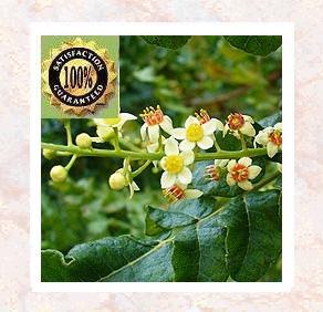 Frankincense ( Boswellia carterii) Pure & Natural Essential Oil