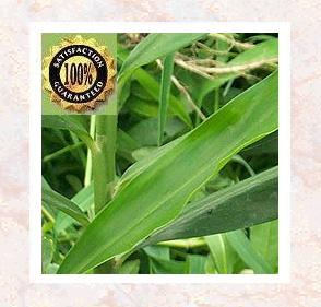 Gingergrass Pure & Natural Essential Oil