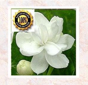 Jasmine Essential Oil (Jasminum grandiflorum) Pure Natural Essential Oil