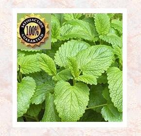 Melissa (Melissa officinalis) Pure Natural Essential Oil
