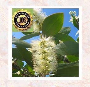 Niaouli (Melaleuca Viridiflora) Pure Natural Essential Oil