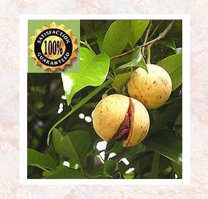 Nutmeg (Myristica Fragrans) Pure Natural Therapeutic Essential Oil