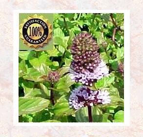 Peppermint (Mentha Piperata) Pure Natural Essential Oil