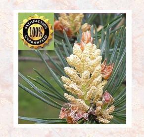 Pine Needle (Pinus sylvestris) Pure Natural Essential Oil