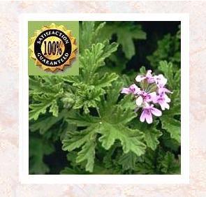 Rose Geranium (Pelargonium Graveolens) Pure Natural Essential Oil