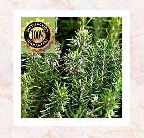 Rosemary (Rosemarinus officinalis) Pure Natural Essential Oil
