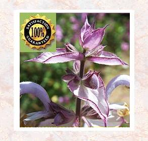Sage (Salvia officianalis) Pure Natural Therapeutic Essential Oil