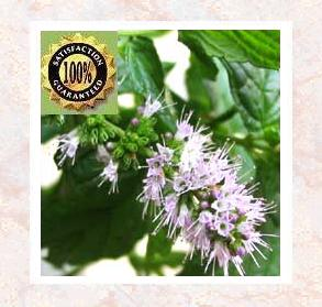 Spearmint Oil (Mentha spicata) Pure Natural Essential Oil