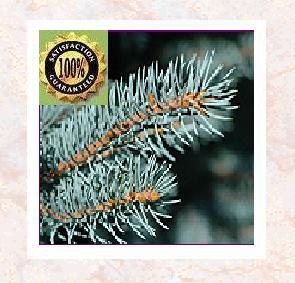Spruce (Tsuga canadensis) Pure Natural Therapeutic Essential Oil