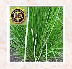 Vetiver (Vetiveria Zizanoides) Pure Natural Essential Oil